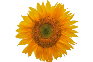 1024px-VallejoSunflower