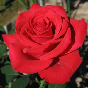 Rosa_Red_Chateau01